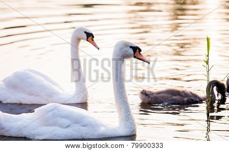 Young Cygnet With Its Parents