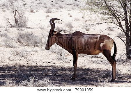 A Common Tsessebe (alcelaphus Buselaphus) Stood Facing The Camera