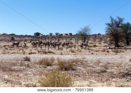 Gemsbok, Oryx Gazella