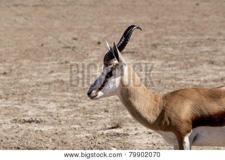 Portrait Of Springbok Gazella