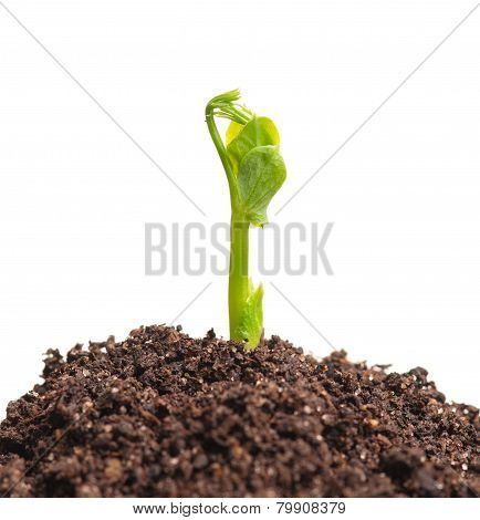 Young Sprout