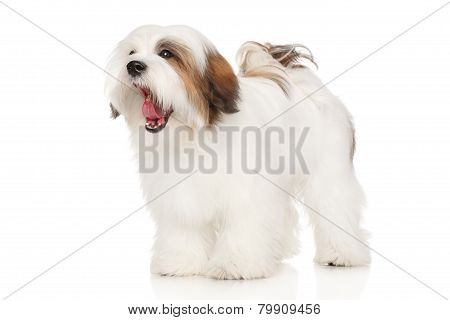Lhasa Apso Dog Yawns
