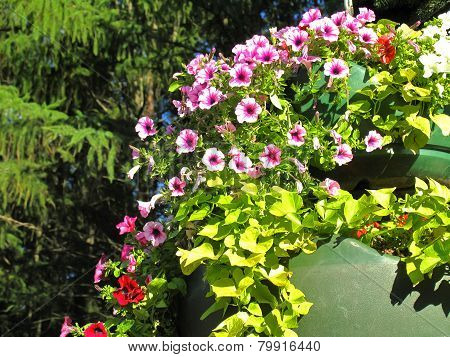Pink Flowering Petunias In Hanging Outdoor Planters