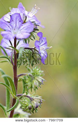 Central Oregon Wildflower - Blue Phacelia Distans - Wild Heliotrope - Scorpionweed