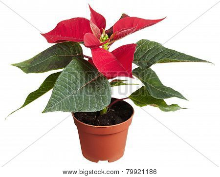 Festive Red Potted Poinsettia Plant