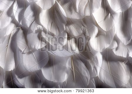 Background Texture Of White Bird Feathers