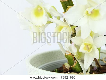 Dendrobium Orchid Closeup Isolated On White Background