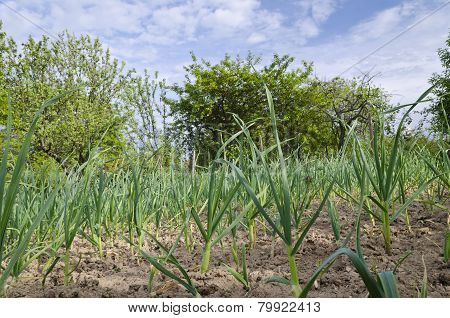Growing Bio Onion In The Northern Bulgaria In The Summer