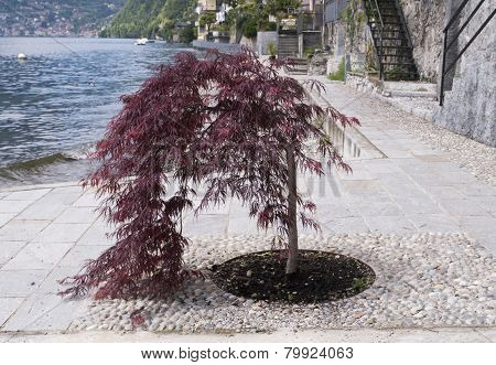 Small acer tree