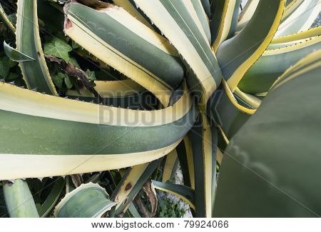 Agave americana plant
