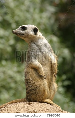 Meerkat Looking Over Shoulder