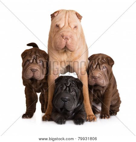 shar pei dog family