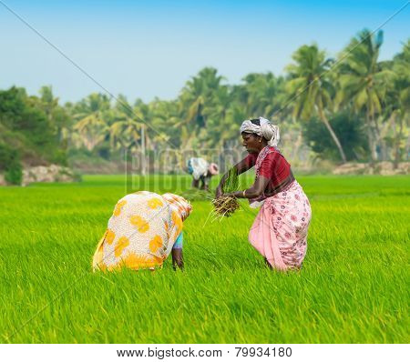 Thanjavour, India - February 13: An Unidentified The Indian Rural Women And Man Works At Rice Field.