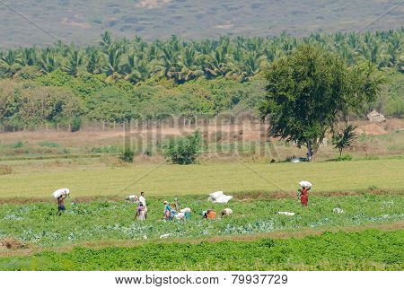 Madurai, India - February 17: An Unidentified The Rural People Harvest Of Cabbage At Plantation. Ind