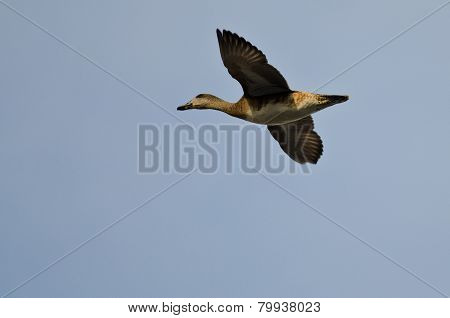 Male Gadwall Flying In A Blue Sky