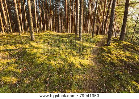 Green Coniferous Forest, Russian Nature