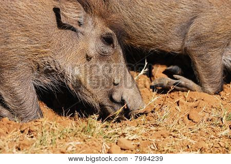 Warthog