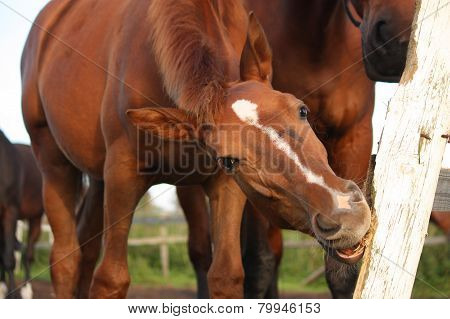Funny Brown Foal Gnawing On Fence