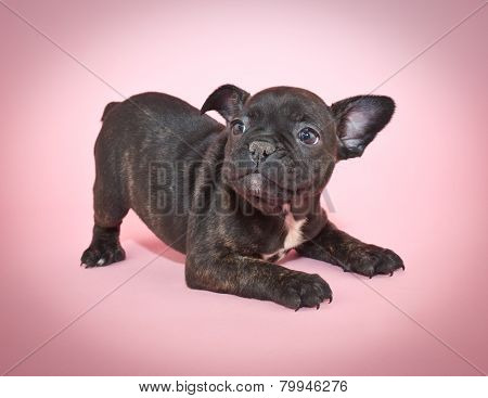 Playful French Bulldog Puppy
