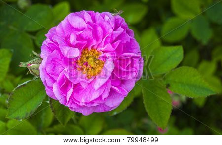 wild rose flowers on a personal plot