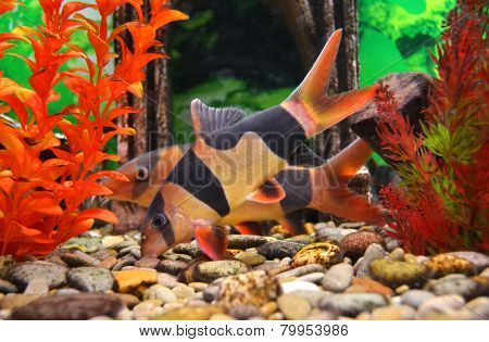 aquarium catfish