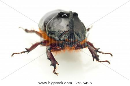 Front Macro View Of Rhinoceros Or Unicorn Beetle