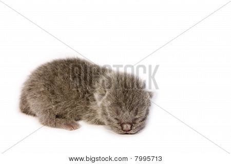 British Blue New Born Kitten