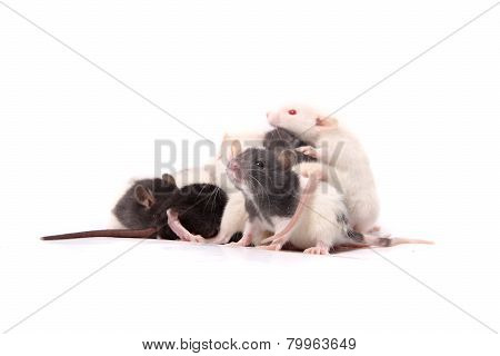 Baby Rats Crawling On Mother Rat
