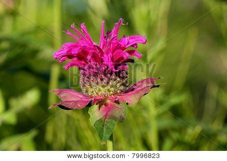 Bergamot Flower