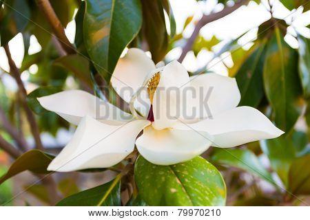ficus elastica white flower