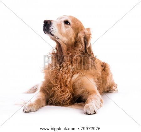 A golden retriever dog laying down over white background