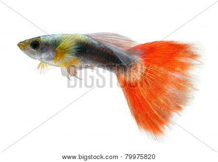 Red Guppy Isolated On Black Background