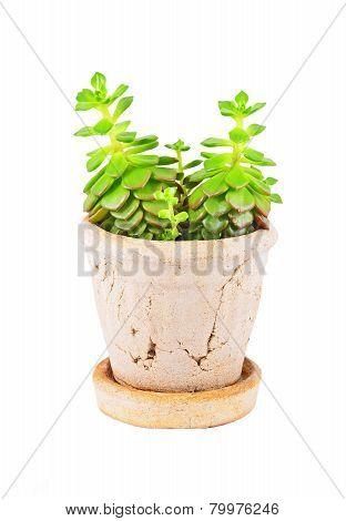 Succulent plant sempervivum