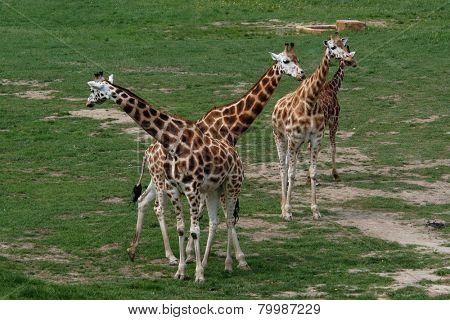 Four giraffes (Giraffa camelopardalis).