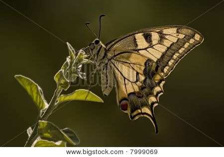 Tiger Swallow Tail Butterfly