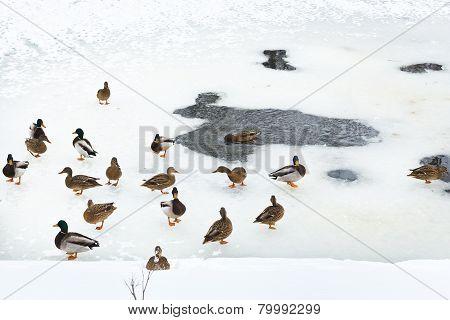 Flock Of Ducks Near Ice Hole In Frozen River