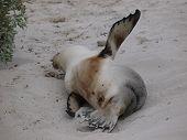 pic of sea lion  - Australian sea lion  - JPG