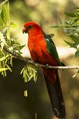 stock photo of king parrot  - An Australian King Parrot Relaxes on a tree branch  - JPG