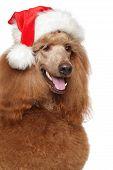 foto of standard poodle  - Red Royal poodle in Santa hat - JPG