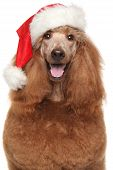 stock photo of poodle  - Royal poodle in Santa red hat on white background - JPG