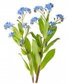 picture of forget me not  - Beautiful Forget - JPG