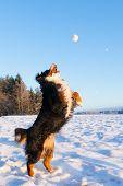 stock photo of glorious  - Playful bernese mountain dog  catching a snowball - JPG