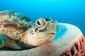 foto of green turtle  - A Green Sea Turtle resting in a large barrel sponge - JPG