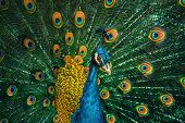 stock photo of indian peafowl  - Portrait Of The Peacock During Courtship Display - JPG
