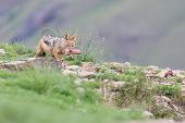picture of jackal  - Shy black backed jackal scavenging for food on the side of a mountain - JPG