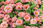 stock photo of zinnias  - close up zinnia pink flower and background - JPG
