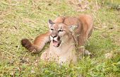 stock photo of cougar  - this is puma or cougar in zoo - JPG