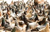 image of feeding  - Pigeons waiting for feed from people - JPG