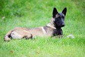 stock photo of belgian shepherd dogs  - dog belgian malinois lies on green grass - JPG