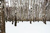 foto of birchwood  - the edge of snowy birch grove in winter - JPG